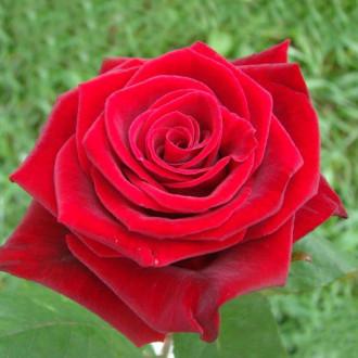 Роза чайно-гибридная Гран При изображение 4