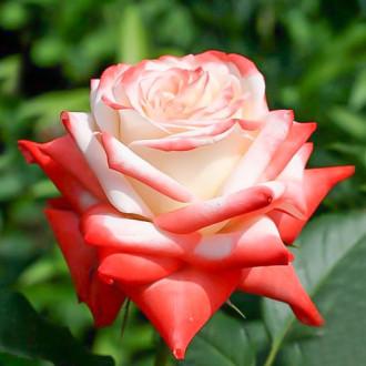 Роза чайно-гибридная Императрица изображение 4
