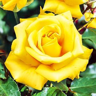 Роза чайно-гибридная Казанова изображение 2