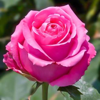 Роза чайно-гибридная Королева красоты изображение 7
