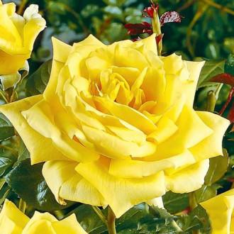 Роза чайно-гибридная Ландора
