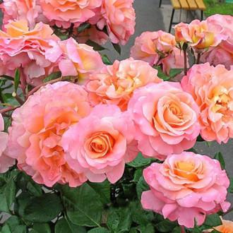 Роза чайно-гибридная Августа Луиза изображение 1
