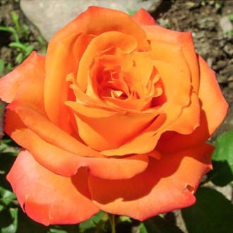 Роза чайно-гибридная Миракли изображение 5