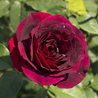 Роза чайно-гибридная Олд Ромео
