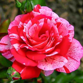 Роза чайно-гибридная Папагено изображение 5