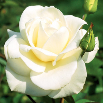 Роза чайно-гибридная Паскали изображение 3