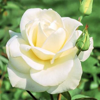 Роза чайно-гибридная Паскали изображение 8