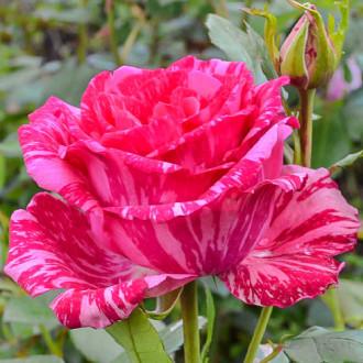 Роза чайно-гибридная Пинк Интуишн изображение 5