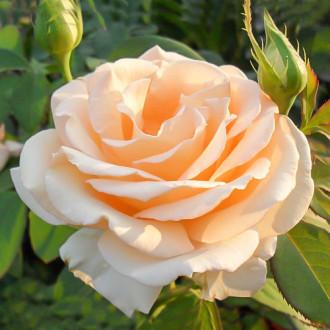 Роза чайно-гибридная Примадонна изображение 3