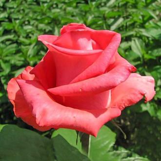 Роза чайно-гибридная Рафаэлло изображение 6