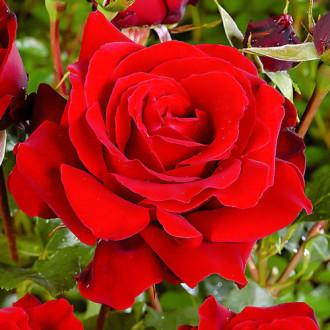 Роза чайно-гибридная Ред Берлин