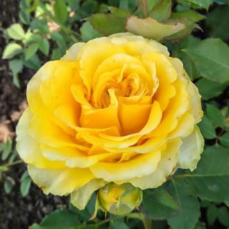 Роза чайно-гибридная Сфинкс изображение 5