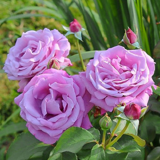 Роза чайно-гибридная Шарль де Голь изображение 3