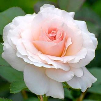 Роза чайно-гибридная Сильвия изображение 5