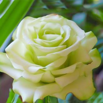 Роза чайно-гибридная Супер Грин изображение 7