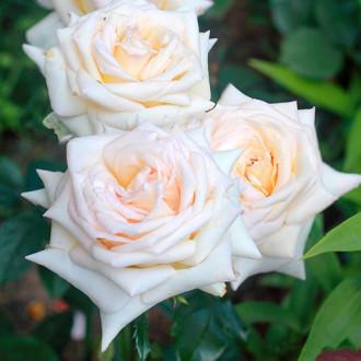 Роза чайно-гибридная Ванилла Парфюм изображение 8