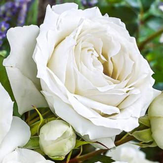Роза чайно-гибридная Вайт Симфони изображение 1