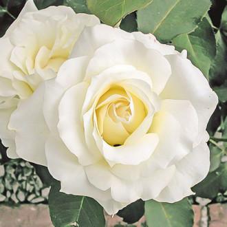 Роза чайно-гибридная Вайт Симфони изображение 3