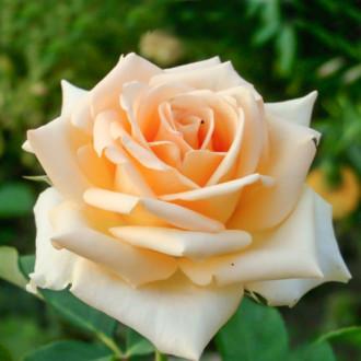 Роза чайно-гибридная Версилия изображение 8