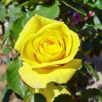 Роза чайно-гибридная Йеллоу Квин Элизабет изображение 1