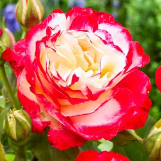 Роза чайно-гибридная Дабл Делайт изображение 7