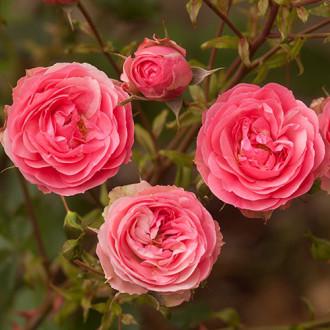 Роза флорибунда Аллюр Винтер Джевел изображение 8