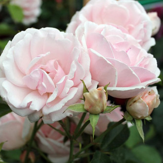 Роза флорибунда Баллада изображение 6