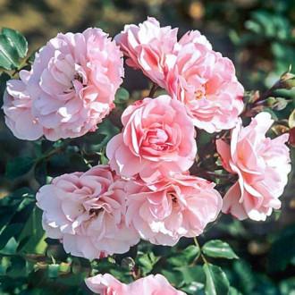 Роза флорибунда Боника изображение 2