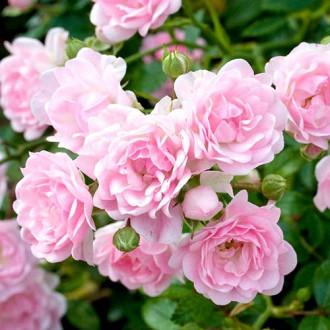 Роза флорибунда Боттичелли