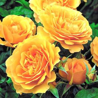 Роза флорибунда Джулия Чайлд изображение 6