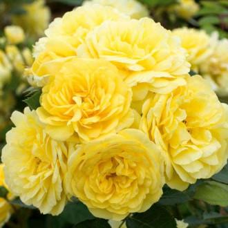 Роза флорибунда Фрезия изображение 6