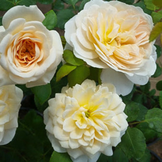 Роза флорибунда Космос изображение 3