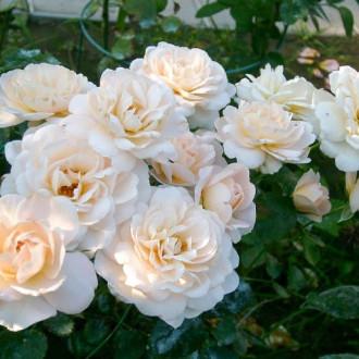 Роза флорибунда Кристал Палас изображение 5