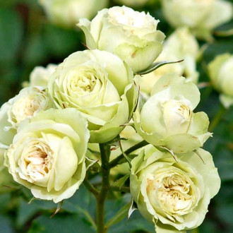Роза флорибунда Лавли Грин изображение 6