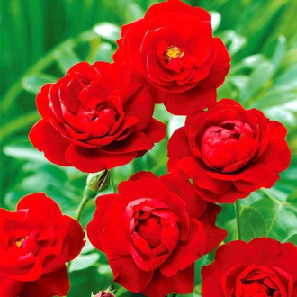 Роза флорибунда Лили Марлен изображение 6