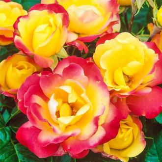 Роза флорибунда Маскарад изображение 1