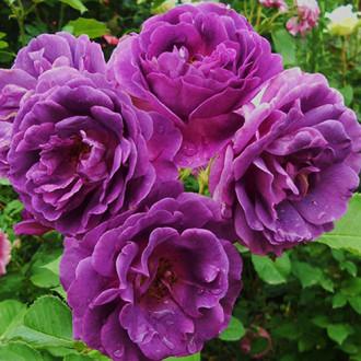 Роза флорибунда Минерва
