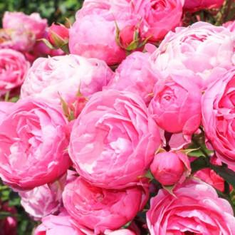 Роза флорибунда Помпонелла изображение 2