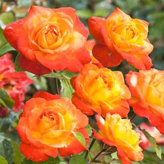 Роза флорибунда Солнечная Девочка изображение 8