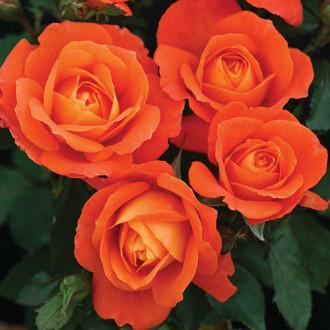 Роза флорибунда Супер Трупер изображение 5
