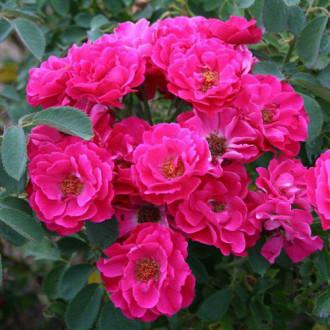 Роза канадская Джон Франклин