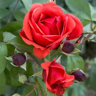 Роза канадская Морден Файрглоу