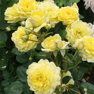 Роза парковая Анни Дюпрей
