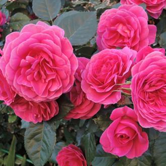 Роза парковая Леа Ренессанс