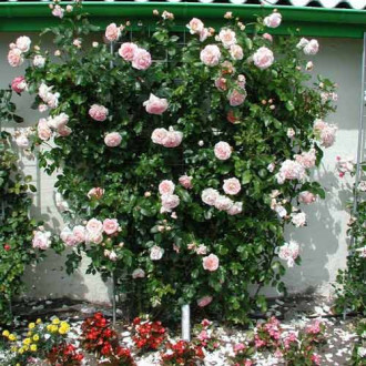 Роза плетистая Амаретто изображение 8
