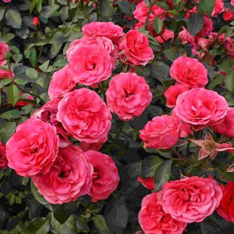 Роза плетистая Антик изображение 7