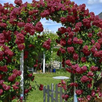 Роза плетистая Черный принц
