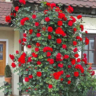 Роза плетистая Девичьи грезы изображение 6