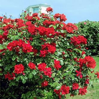 Роза плетистая Дон Жуан изображение 3