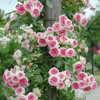 Роза плетистая Эден Роуз изображение 3